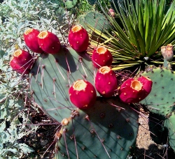 Prickly pear fruit on the cactus