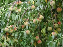 Picture of Ripening Peaches, San Ignacio, Sonora