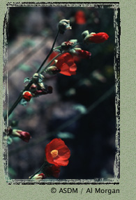 Photo of Globemallow by Al Morgan