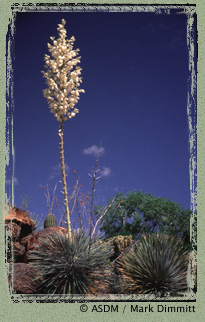 Photo of Soaptree yucca by Mark Dimmitt