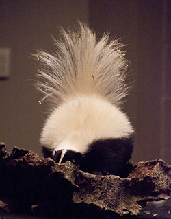 Skunk in log