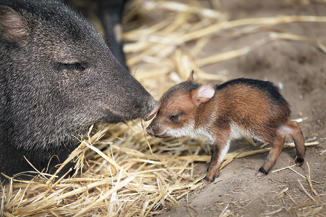 Adult and baby javelina