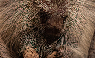 Photo of Rue the Porcupine