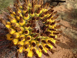 Close up of the characteristic fruit of the fishhook barrel cactus