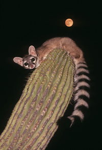 Ringtail on Saguaro with blood moon behind