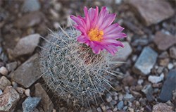 The Chihuahuan snowball (Thelocactus macdowellii) is just one of many cacti in the garden-credit Liz Kemp
