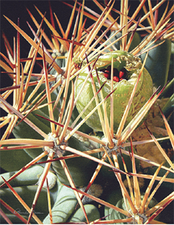 The endangered Pima Pineapple Cactus - credit Rhonda Nass