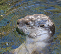 The otter pauses to tweet during her daily swim