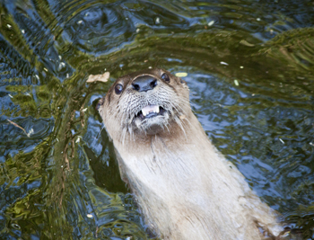 The otter smiles for the camera.