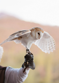 Photo of a Desert Experience Barn Owl
