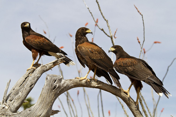 Our Harris's Hawk Family