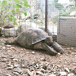 Tortoise enjoying his new, secure backyard home